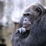 A chimpanzee is seen at the zoo in Abidjan on June 12, 2014. The zoo is home to approximately 250 amimals of 42 species. AFP PHOTO/SIA KAMBOU        (Photo credit should read SIA KAMBOU/AFP/Getty Images)