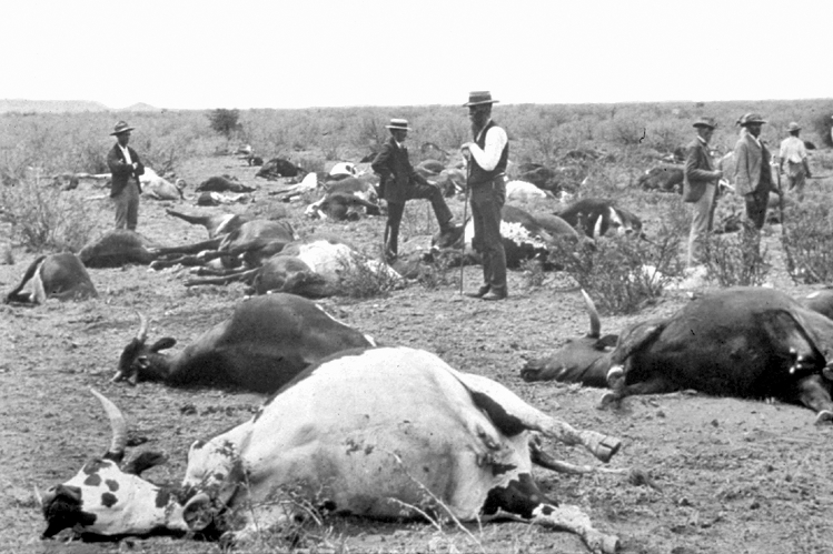 Dead oxen, some partly buried, thought to have died from rinderpest, ca. 1900.