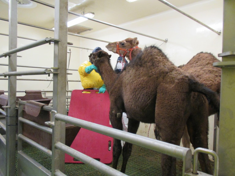 Camels in the Lab