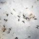 Zika Aedes egypti