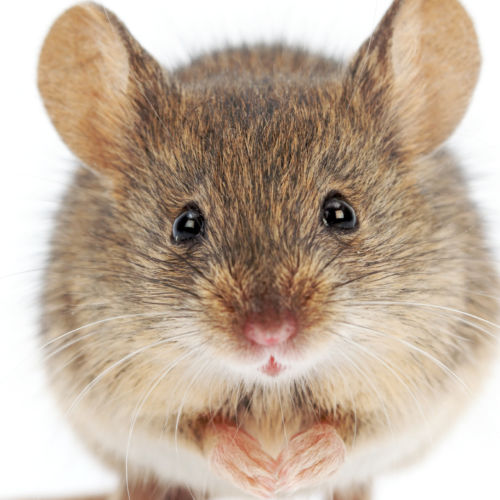 New study shows mice get back vision