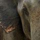 Elephant Sedative