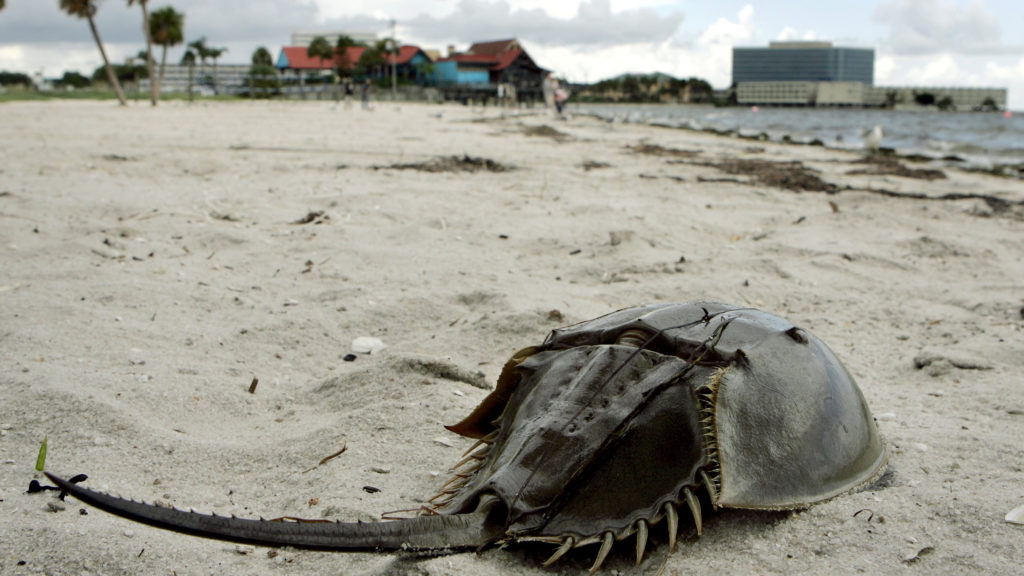 Charles River loses a battle over harvesting horseshoe crabs for testing