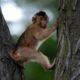 Zika Macaque