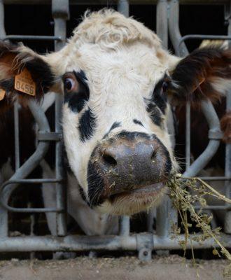 Cows Antibiotics