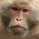 SIV rhesus macaque