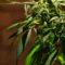 Marijuana ballot measure