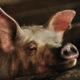 China pig farm