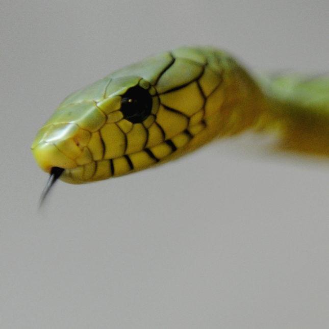 A venomous West African Green Mamba snake