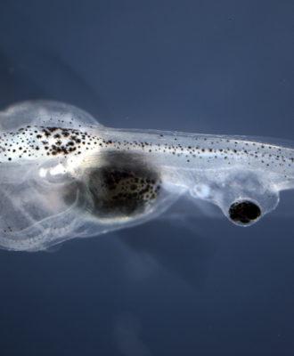 Blind tadpole