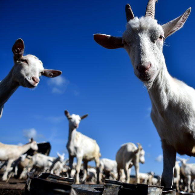 Milk goat farm