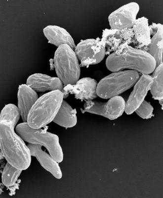 Myceliopthora thermophila