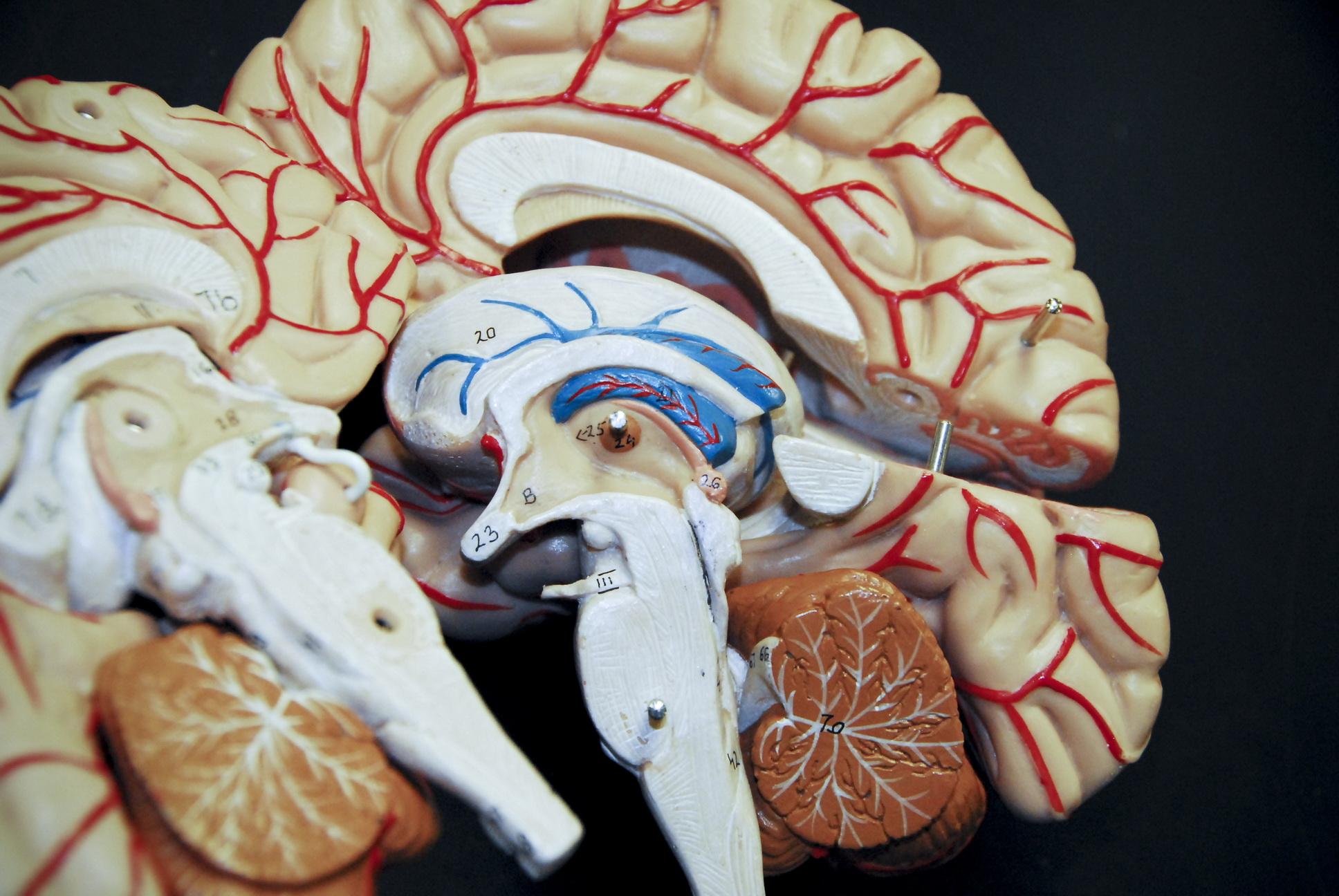 Brain model - STAT