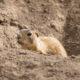 Gunnison's prairie dog
