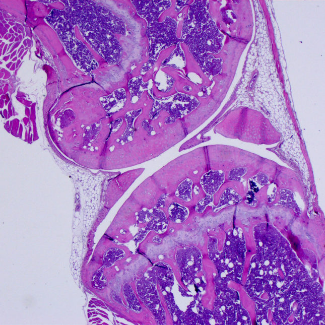 Histological section of rat knee joint