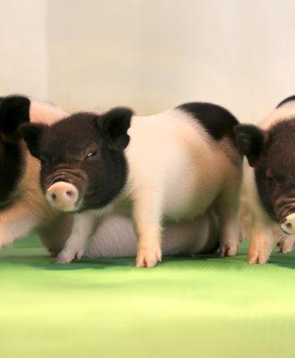 Crispr piglets