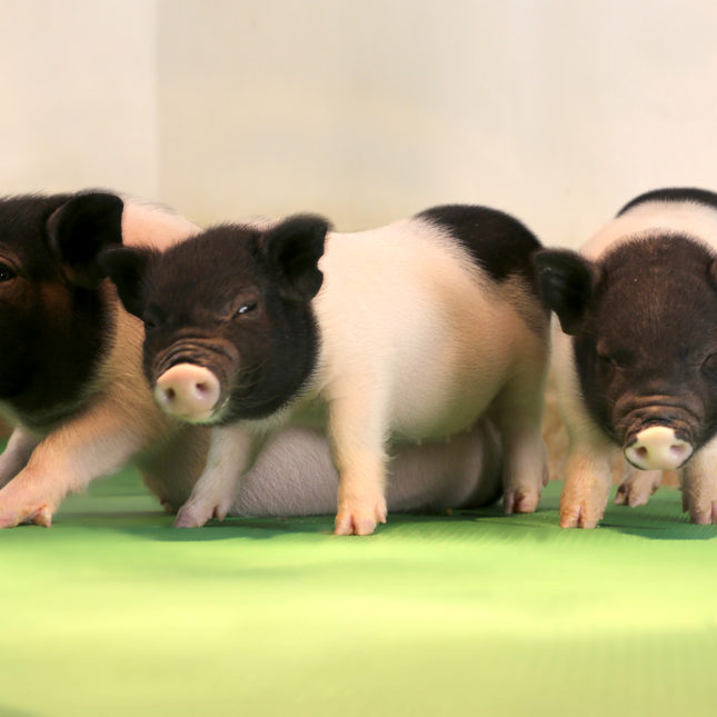 Genetically modified pigs raise hopes for transplanting animal organs into humans