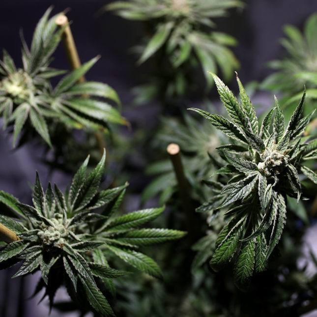 Oakland - marijuana plant