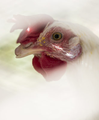 West nile chickens