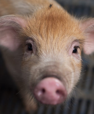 Tiny pig
