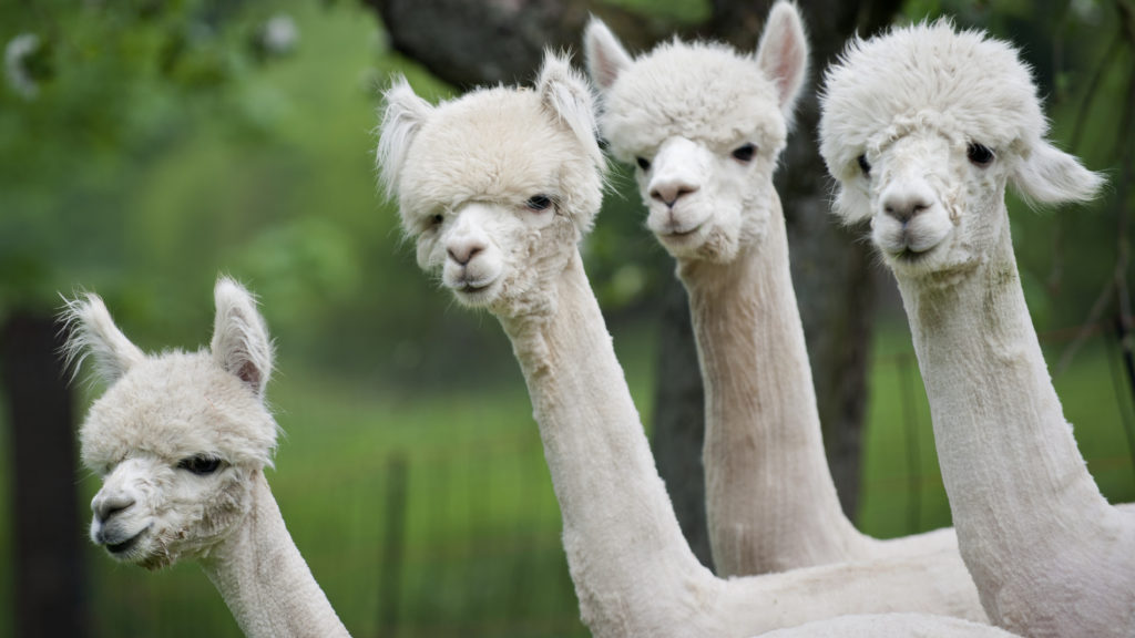 Camels and alpacas have special antibodies. Now researchers can make them with yeast