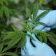 Marijuana Microbe