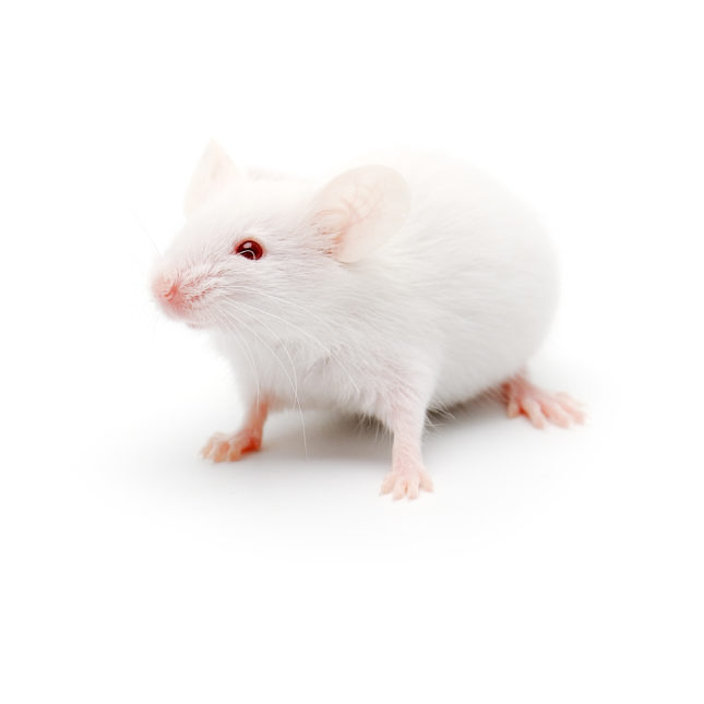 Single white lab mouse