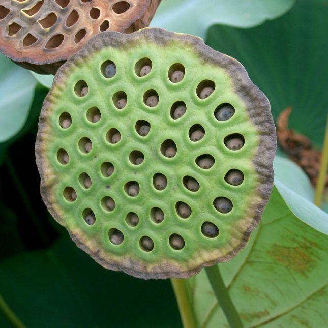 Nelumbo nucifera Lotus Seed