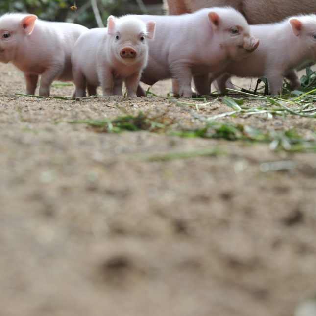 Four mini-pig piglets stand around