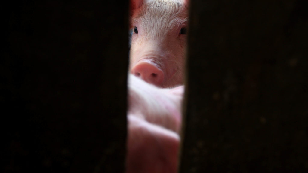 Scientists restore cellular functions in brains from dead pigs, challenging long-held dogma