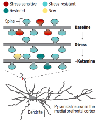 Ketamine - new synapses graphic