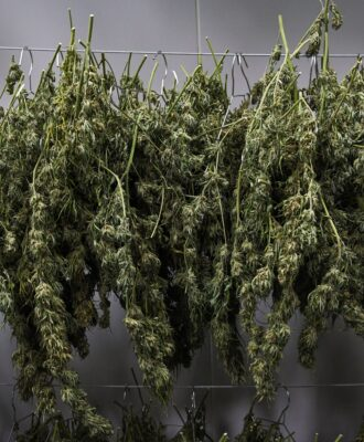 Marijuana plants drying