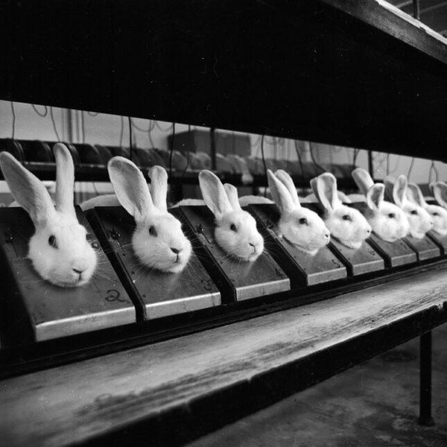 Animal testing - rabbits