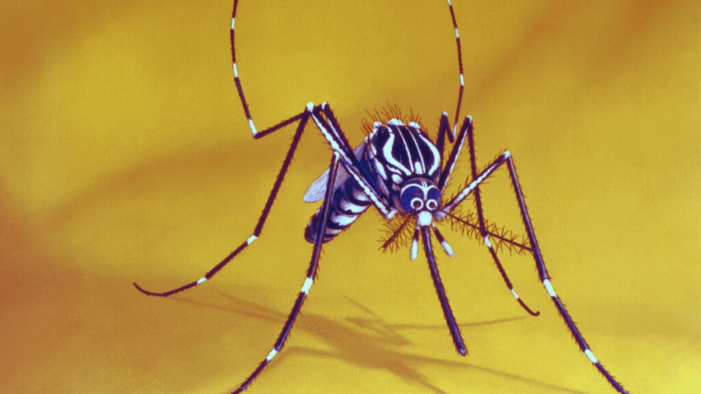 Across several continents, infecting mosquitoes with bacteria results in dramatic drops in dengue illness, trials show
