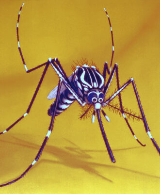 Aedes aegypti illustration