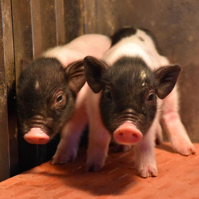 CRISPR-edited pigs