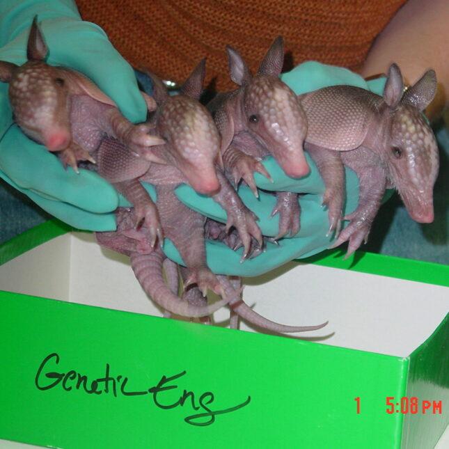 armadillo quadruplets
