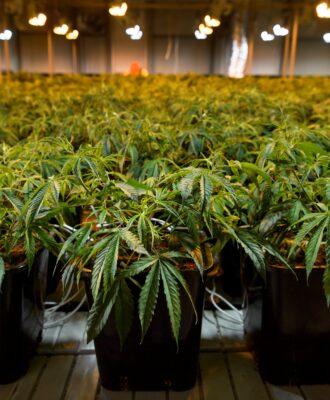 Cannabis Boom