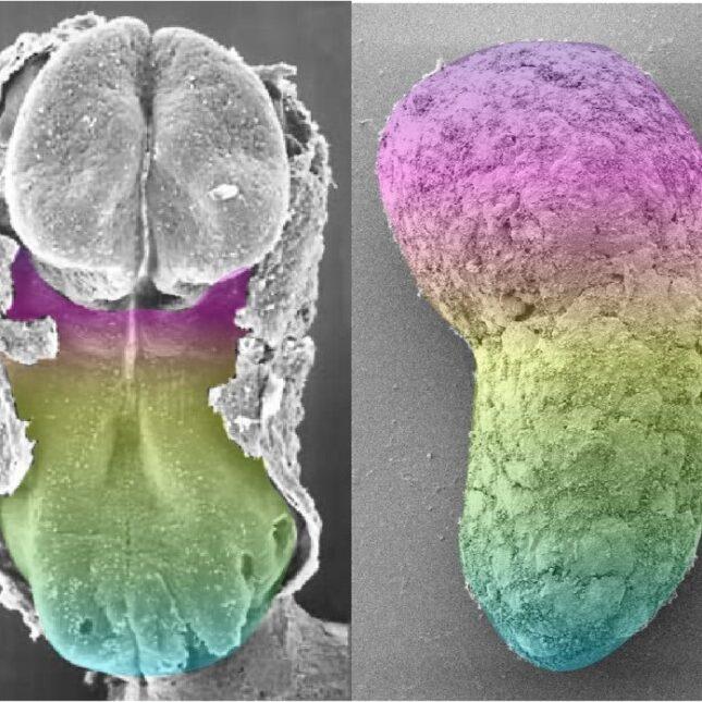 human embryo /human gastruloid