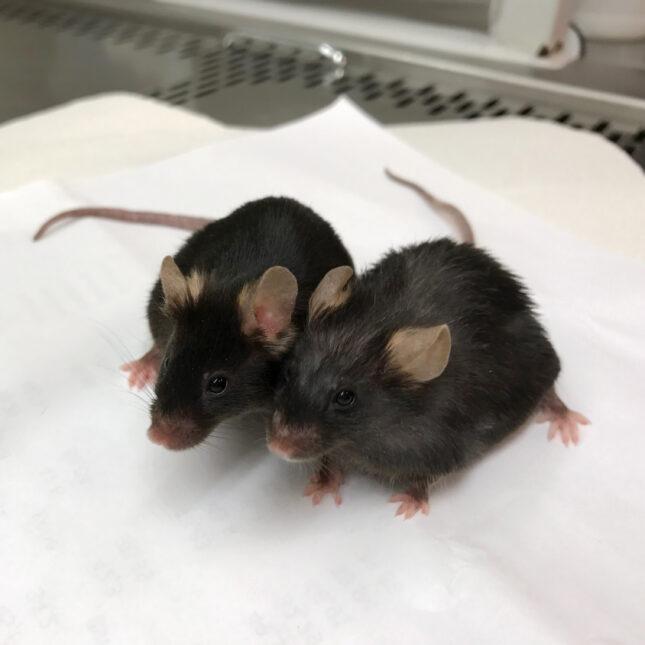 AKG control mice