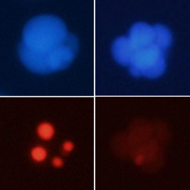 mice embryos