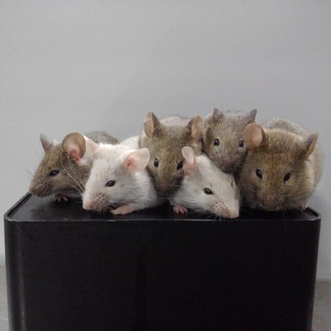 Kyushu University mice