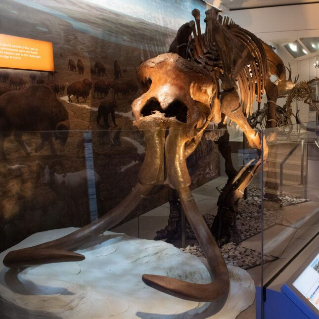 wooly mammoth skeleton